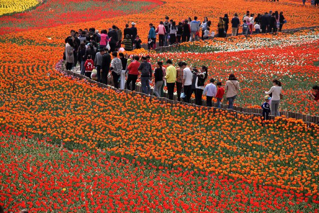 People walk through a garden of tulips during the first day of a tulip festival in Binzhou city in eastern China's Shandong Province, Saturday, April 18, 2015. (Photo by Chinatopix Via AP Photo)