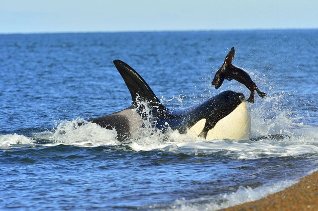 This is the incredible moment a giant killer whale was almost beached as it launched a vicious attack on a sea lion and nearly became stranded on the shore. (Photo by Caters News)