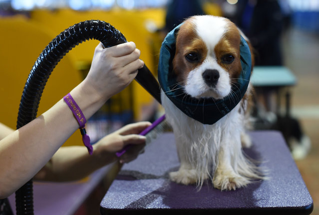 A Cavalier King Charles Spaniel is seen in the benching area during Day One of competition at the Westminster Kennel Club 141 st Annual Dog Show in New York on February 13, 2017. (Photo by  Timothy A. Clary/AFP Photo)