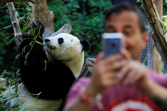A visitor to the San Diego Zoo takes a selfie with giant male panda Xiao Liwu prior to Luwi's repatriation to China with his mother Bai Yun, bringing an end to a 23-year-long panda research program in San Diego, California, U.S., April 18, 2019. Picture taken April 18, 2019. (Photo by Mike Blake/Reuters)