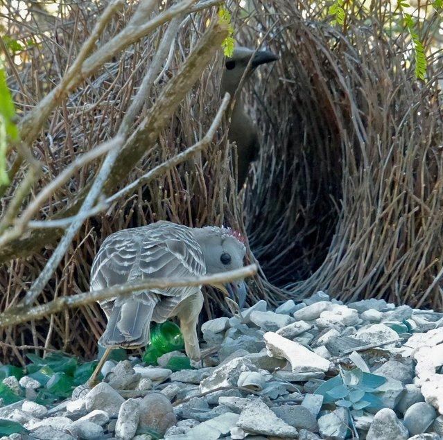 Animal Architects Bowerbirds Design