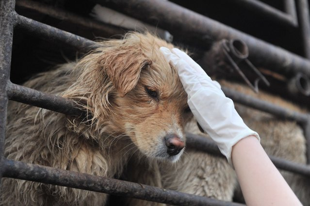 Yang Xiaoyun Saved 100 Dogs From Meat Festival