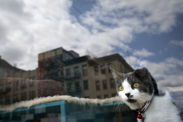 A cat looks out a window at a cat cafe in New York April 23, 2014. The cat cafe is a pop-up promotional cafe that features cats and beverages in the Bowery section of Manhattan. (Photo by Carlo Allegri/Reuters)