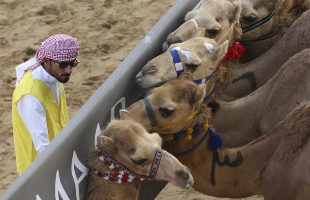 In this Saturday, April 8, 2017 photo, a marshal tries to control the camels behind the start barrier a few seconds ahead of a race at the Al Marmoom Camel Racetrack, in al-Lisaili about 40 km (25  miles) southeast of Dubai, United Arab Emirates. (Photo by Kamran Jebreili/AP Photo)