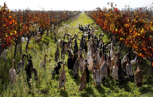 Indian Runner ducks walk through a vineyard at the Vergenoegd wine estate near Cape Town, South Africa, May 16, 2016. (Photo by Mike Hutchings/Reuters)