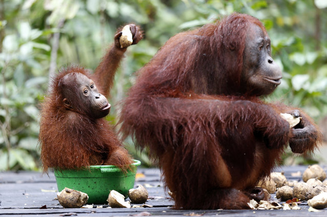 A female orangutan and baby in a bucket that contained milk at a feeding station at Camp Leakey in Tanjung Puting National Park, in Kalimantan (Indonesian Borneo), Indonesia, September 3, 2013. (Photo by Barbara Walton/EPA)