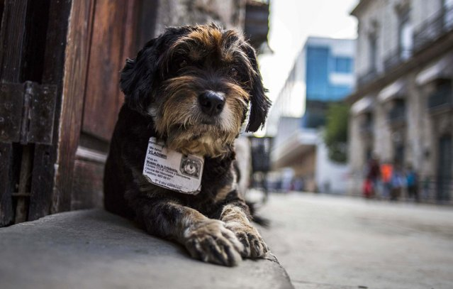 In this March 13, 2015 photo, former street dog Vladimir wears an ID collar that gives his name and residence, as he sits at the entrance of the Old Havana Museum of Metalwork in Havana, Cuba. Cuban law banning animals from workplaces contains an exemption for guard dogs. (Photo by Ramon Espinosa/AP Photo)