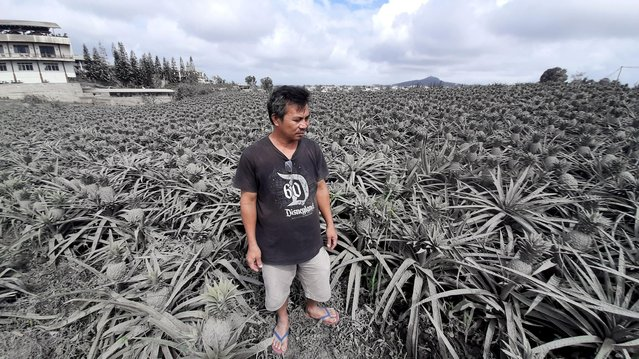 Farmer Jack Imperial, 49, poses for a portrait in his pineapple plantation covered with ash from the erupting Taal Volcano, in Tagaytay, Philippines, January 15, 2020. Imperial said he feared that the hot ash had harmed his crop and made it inedible. He used to sell his pineapples, in slices, chunks and juice, at a small stall frequented by tourists beside his house. But the tourists have disappeared and tens of thousands of people have been evacuated from a danger zone around Taal. (Photo by Adrian Portugal/Reuters)