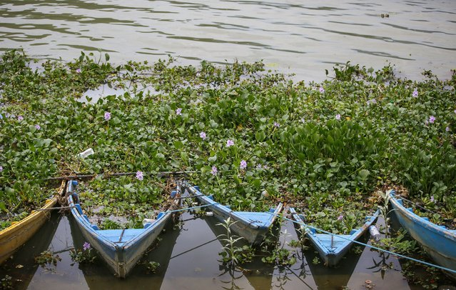 Boats full of plants as local people participate in a Water Hyacinth cleaning program at Phewa Lake in Pokhara, Nepal, 16 July 2017. Due to its fast growing, the water hyacinth has been occupying large larts of lake, a popular tourist destination of Nepal. Every year various members of the tourism sector take part in a clean-up action, but conditions have overall remained the same. The Water hyacinth is a free-floating perennial plant that can grow to a height of about 1 meter. (Photo by Narendra Shrestha/EPA/EFE)