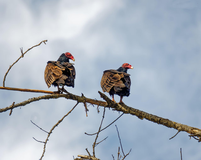 Turkey vultures perch on a tree in Sepulveda wildlife sanctuary in California, USA. (Photo by Minas Keukazian/Alamy Live News)