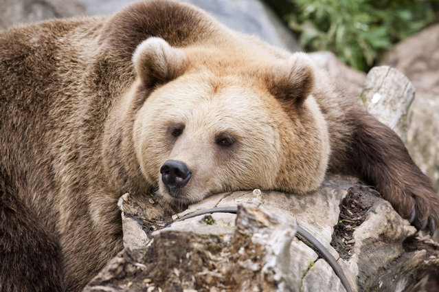 A brown bear takes a nap during the World Animal Day on October 4, 2012 at Korkeasaari Zoo in Helsinki, Finland. (Photo by Jarno Mela/AFP)