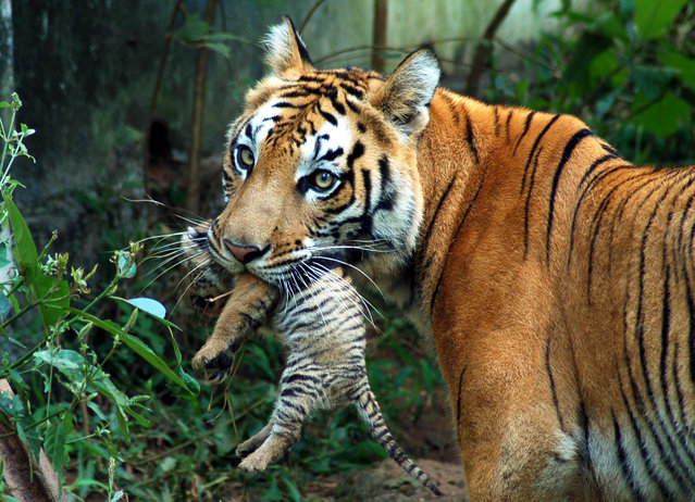 A tigress carries her cub at a zoological park in Guwahati October 24, 2007. (Photo by Utpal Baruah/Reuters)