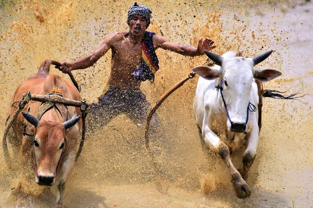 """""""Hold On"""". This Jockey is trying to survive keeping his balance when spurred two cows in Cow Race at West Sumatra. Photo location: West Sumatra. (Photo and caption by Achmad Sumawijaya/National Geographic Photo Contest)"""
