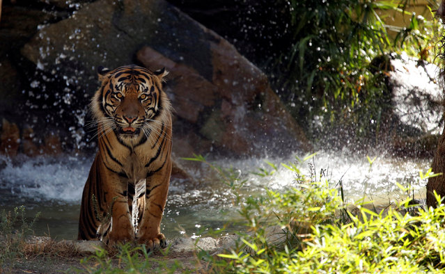 A Sumatran tiger comes out of the water in its enclosure during a summer day at the Los Angeles Zoo in Los Angeles, California U.S., August 13, 2016. (Photo by Mario Anzuoni/Reuters)