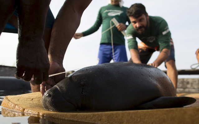 Veterinarian William Guerra Neto (R) and his assistants take measurements of one of two Amazonian manatees who are being rehabilitated after sustaining injuries from hunting and fishing nets at the Center of Amazonian Manatees at Amana Lake in Maraa, Amazonas state, Brazil, September 21, 2015. (Photo by Bruno Kelly/Reuters)