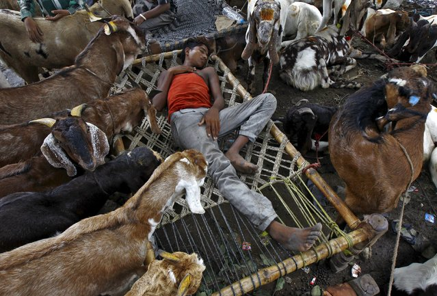 A trader sleeps amid his goats at a livestock market on the eve of the Eid al-Adha festival in Kolkata, India, September 24, 2015. (Photo by Rupak De Chowdhuri/Reuters)