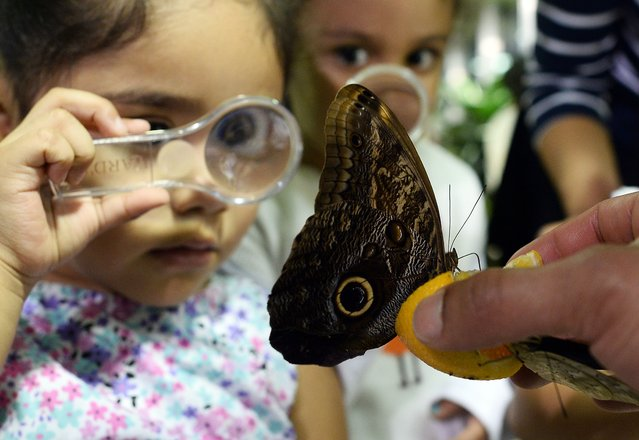 "Children take closer look at butterflies using magnifying glasses during a special preview of ""The Butterfly Conservatory: Tropical Butterflies Alive in Winter"" at the American Museum of Natural History in New York on October 28, 2014. The Butterfly Conservatory houses up to 500 iridescent butterflies that hover above visitors in a 1,200-square-foot vivarium filled with lush foliage and blooming tropical flowers. An annual favorite, The Butterfly Conservatory is eagerly anticipated by children and adults alike. (Photo by Jewel Samad/AFP Photo)"