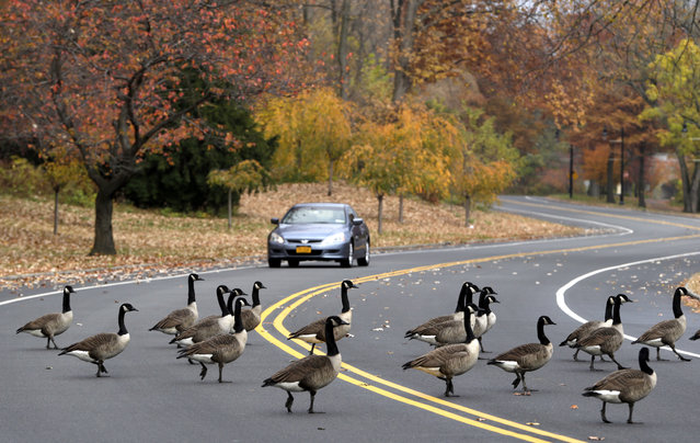 A vehicle slows down as a gaggle of geese crosses a road at Branch Brook Park, Wednesday, November 12, 2014, in Newark, N.J. (Photo by Julio Cortez/AP Photo)