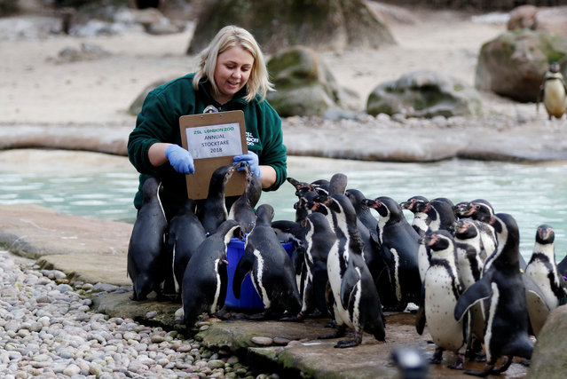 Penguins are counted during the Annual Stocktake at ZSL London Zoo in London, Britain February 7, 2018. (Photo by Tom Jacobs/Reuters)