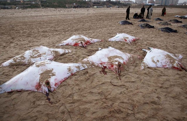 Palestinians stand next to Devil Rays laid on a beach in Gaza City February 28, 2013. Gaza fishermen have caught more than 200 Devil Rays over the past two days, a rare haul that was proudly displayed on the beach before being carried off to market on donkey carts. (Photo by Ahmed Zakot/Reuters)