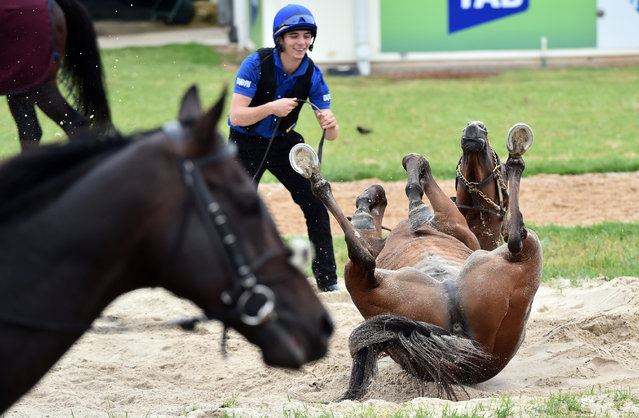 Godolphin horse Sky Hunter rolls in sand after track work in preparation for the Cox Plate at Werribbe racecourse in Melbourne, Australia on 21 October 2015. (Photo by Julian Smith/AAPImage)