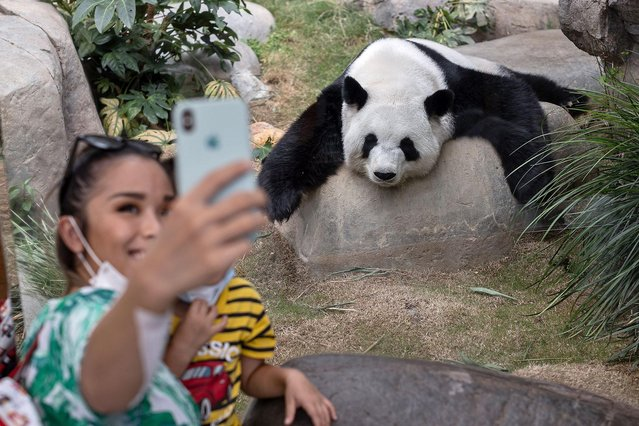 Giant panda Ying Ying rests on a rock in its enclosure while a visitor takes a selfie at Ocean Park in Hong Kong, China, 24 September 2020. An An turned 35 in August. Giant pandas in the wild can live up to 20 years on average, while lifespans of those under human care can reach over 30 years. (Photo by Jerome Favre/EPA/EFE)