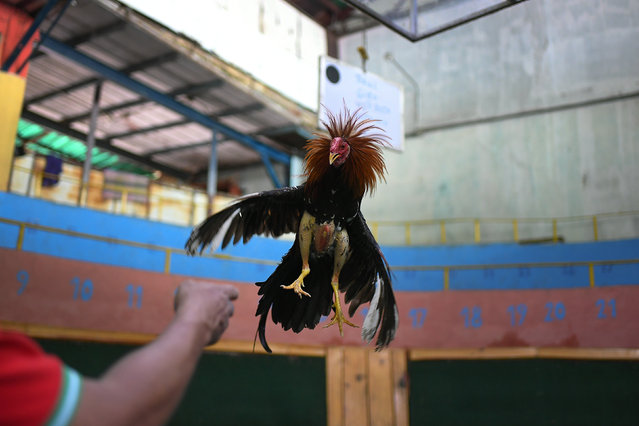 "Angel Salamanca trains a rooster at the ""Club Gallistico Caracas"" cockfighting club in Caracas, Venezuela, Sunday, November 15, 2020. Cockfighting arenas and clubs have shut down since the start of the new coronavirus pandemic months ago, but owners have to keep incurring in the expense of upkeeping and training their birds in the hope that the fights might one day reopen. (Photo by Matias Delacroix/AP Photo)"
