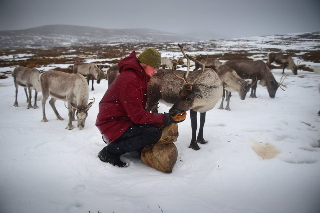 Zac Brown a reindeer herder at the Cairgorm Herd feed the deer at The Cairngorms National Park on December 14, 2014 in North East Scotland. Reindeer were introduced to Scotland in 1952 by Swedish Sami reindeer herder, Mikel Utsi. Starting with just a few reindeer the herd has now grown in numbers over the years and is currently at about 130 by controlling the breeding. (Photo by Jeff J. Mitchell/Getty Images)
