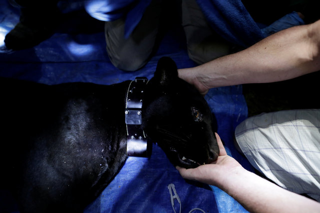 A researcher from the Mamiraua Institute puts a GPS collar on a black male jaguar after capturing him at the Mamiraua Sustainable Development Reserve in Uarini, Amazonas state, Brazil, March 6, 2018. (Photo by Bruno Kelly/Reuters)