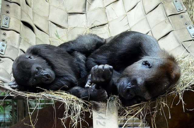 Still in her early years, a western lowland gorilla rests with her mother at Smithsonian's National Zoo. (Photo by Connor Mallon/Smithsonian's National Zoo)