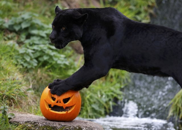 Goshi the black Jaguar stands on top of a carved Halloween pumpkin in its enclosure as part of the Enchantment event at Chester Zoo in Chester, Britain October 24, 2016. (Photo by Phil Noble/Reuters)