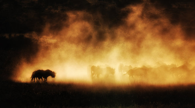 """Shadows in dust"". A herd of wildebeest kick up dust at sunset, revealing their shadows. Location: Kuruman, South Africa. (Photo and caption by Max Seigal/National Geographic Traveler Photo Contest)"