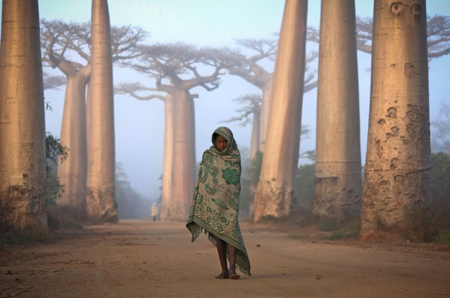 """Merit Winner: Lost in Time – An Ancient Forest"". Near the city of Morondava, on the West coast of Madagascar lies an ancient forest of Baobab trees. Unique to Madagascar, the endemic species is sacred to the Malagasy people, and rightly so. Walking amongst these giants is like nothing else on this planet. Some of the trees here are over a thousand years old. It is a spiritual place, almost magical. Location: Avenue du Baobab, Morandava, Madagascar. (Photo and caption by Ken Thorne/National Geographic Traveler Photo Contest)"