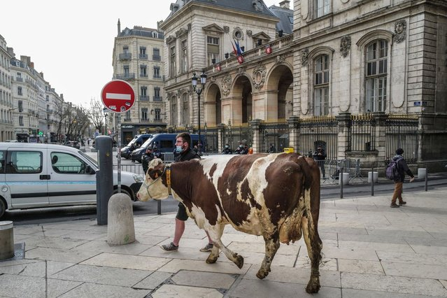A farmer walks a cow on the square facing the city hall of Lyon on February 22, 2021 during a demonstration to protest against the city majority's decision to keep meat off city schools' menu to, the mayor said, ensure a smooth service at lunchtime during the social distancing enforced by the Covid-19 pandemic. (Photo by Olivier Chassignole/AFP Photo/Profimedia)
