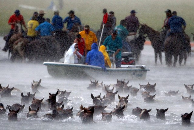 Wild ponies are herded into the Assateague Channel during the rain storm for their annual swim from Assateague Island to Chincoteague, Virginia. (Photo by Mark Wilson/Getty Images)