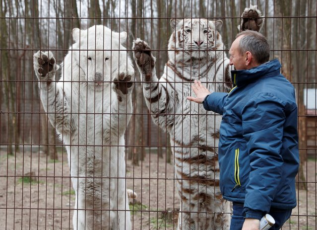 White Bengal tigers Mohini and Begum react with their owner Tibor Toth at a private zoo closed to the public, during the coronavirus disease (COVID-19) pandemic, in Felsolajos, Hungary, March 22, 2021. (Photo by Bernadett Szabo/Reuters)