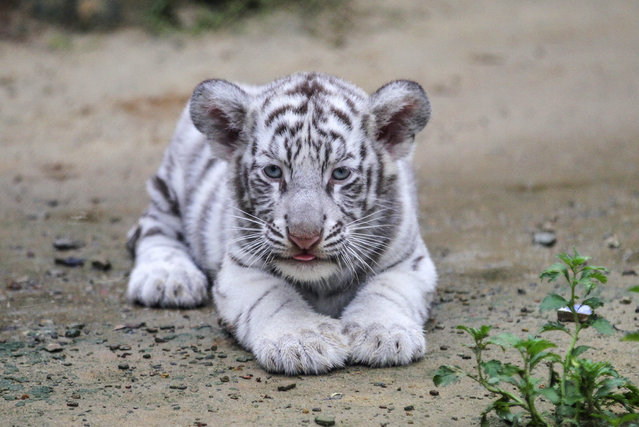 This photo taken on September 12, 2018 shows a white albino Bengal tiger cub at a zoo in Bangladesh's second largest city Chittagong. The zoo authorities reported is was first white tiger born and being bred at a Bangladeshi zoo. (Photo by Habibur Rob/AFP Photo)