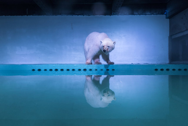 A polar bear is seen at an aquarium in Guangzhou, Guangdong province, China, July 27, 2016. (Photo by Reuters/Stringer)