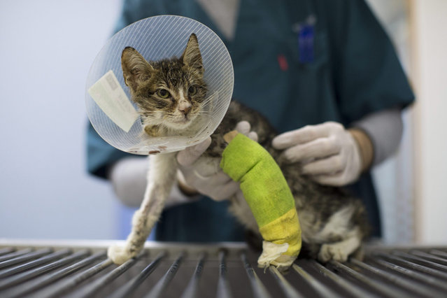 A young stray cat recovering from a car accident is treated at the Yuval Samuel veterinary clinic in Tel Aviv, Israel, 09 January 2016. (Photo by Abir Sultan/EPA)