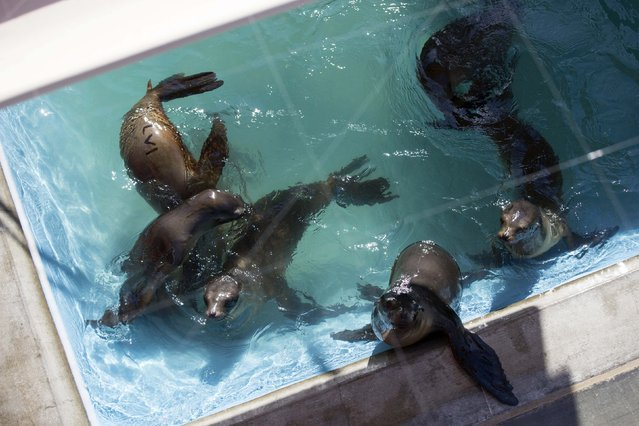 Sea lion pups swim in their enclosure after being rescued at the Pacific Marine Mammal Center in Laguna Beach, California March 17, 2015. (Photo by Mario Anzuoni/Reuters)
