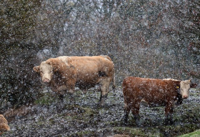 Cattle brave a blizzard sweeping through Seaton Sluice, North Tyneside as the wintry conditions blow in across the UK, on November 19, 2013. (Photo by Owen Humphreys/PA Wire)