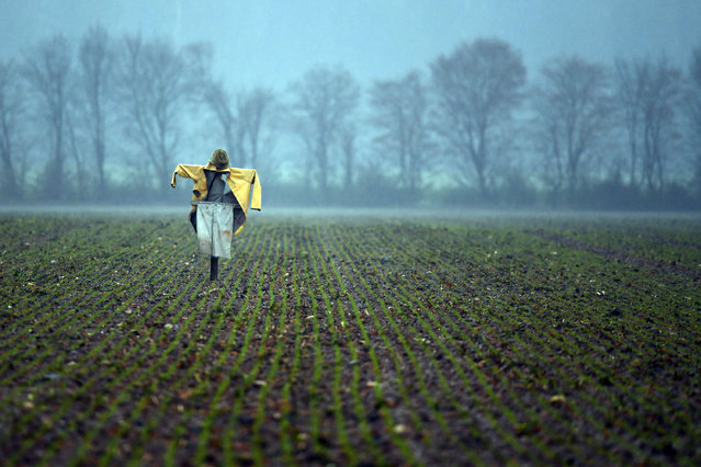 A scarecrow is seen on a field in the rain on December 13, 2016 in Dormagen (North Rhine-Westphalia), Germany. (Photo by Federico Gambarini/DPA)