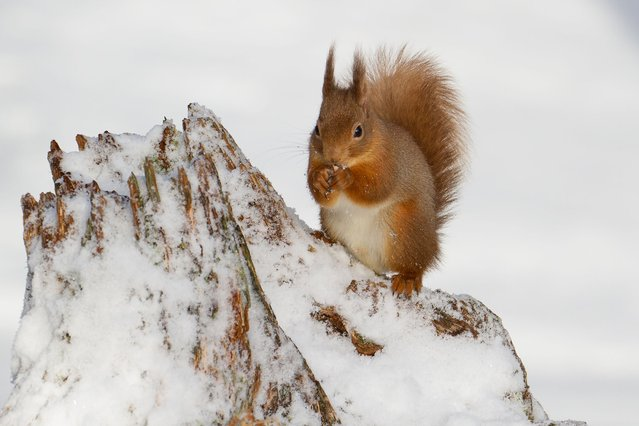 Fiona Gavin's red squirrel in the snow. (Photo by Scottish Seabird Centre)