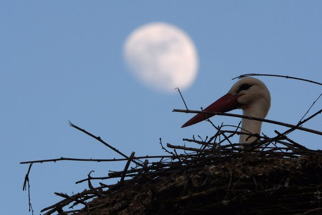 A stork in its nest at the zoo in Salem, while the moon is seen in the background, Germany, 31 March 2015. (Photo by Felix Kaestle/EPA)