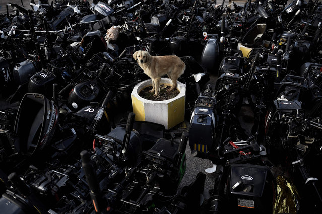 """A stray dog stands among outboard motors that were used by refugees and migrants to reach the Greek northern island of Lesbos, in Mytilene, on February 23, 2016. Athens has expressed its """"displeasure"""" to the EU over tougher border controls by Balkan countries that have left thousands of migrants stranded in Greece, Prime Minister Alexis Tsipras' office said on February 23. (Photo by Aris Messinis/AFP Photo)"""
