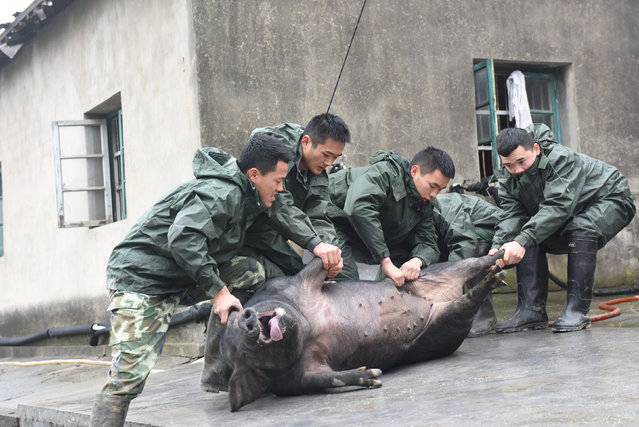 Paramilitary policemen pull a pig for slaughter out from farm at a paramilitary logistics place ahead of China's Lunar New Year in Hangzhou, Zhejiang province, China, January 19, 2017. (Photo by Reuters/Stringer)