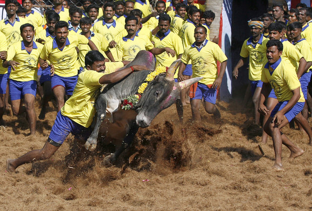 Bull tamers try to control a bull during the bull-taming sport called Jallikattu, in Palamedu, about 575 kilometers (359 miles) south of Chennai, India, Tuesday, Jan. 15, 2013. (Photo by Arun Sankar K./AP Photo)