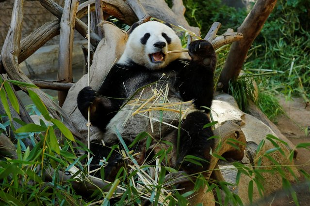 Giant male panda Xiao Liwu eats a meal of bamboo at the San Diego Zoo prior to his repatriation to China with his mother Bai Yun, bringing an end to a 23-year-long panda research program in San Diego, California, U.S., April 18, 2019. Picture taken April 18, 2019. (Photo by Mike Blake/Reuters)