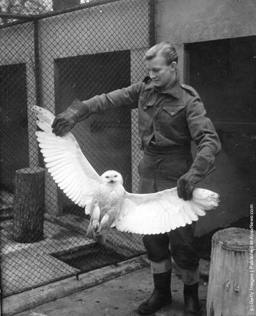 1950: A keeper showing the wingspan of a snowy owl which was presented to London Zoo