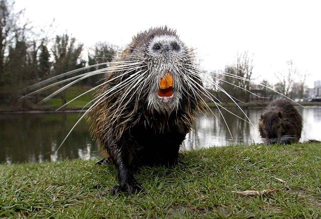 A beaver in Halle Zoo in Germany. (Photo by Steffen Schellhorn/DDP IM/SIPA Press)